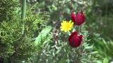 Κυπριακή Τουλίπα – Tulipa Cypria